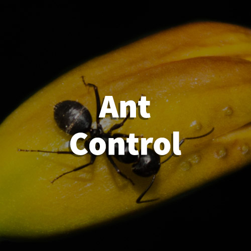 Ant Pest Control in Travelers Rest, South Carolina